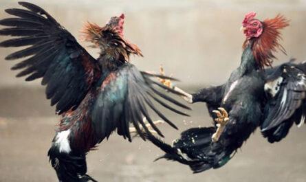 Cara Main Sabung Ayam